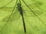 Emperor Dragonfly, Silhouette Seen Through Leaf, Cornwall, UK Photographic Print by Ross Hoddinott
