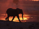 African Elephant, at Sunset Chobe National Park, Botswana Posters by Tony Heald