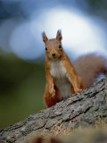 Red Squirrel on Tree Trunk, Scotland Posters by Niall Benvie