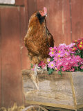 Domestic Chicken, Americana Breed, USA Photographic Print by Lynn M. Stone