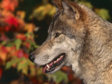 Grey Wolf, Head Profile, Montana, USA Print by Lynn M. Stone