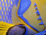 Queen Angelfish Close-Up of Gills and Pectoral Fin, Bahamas, Caribbean Fotografisk tryk af Jeff Rotman