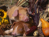 Domestic Piglets, Resting Amongst Vegetables, USA Kunstdrucke von Lynn M. Stone
