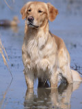Golden Retriever in Water, USA, North America Photographic Print by Lynn M. Stone