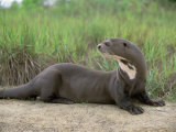 Giant Otter, Guyana Prints by Pete Oxford