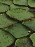 Royal Water Lily Leaves, World's Largest Lily, Brazil Photographic Print by Staffan Widstrand