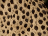 Cheetah Fur Detail Posters by Tony Heald
