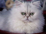 Pure Bred White Persian Domestic Cat Posters by Lynn M. Stone