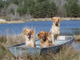 Golden Retrievers in Boat, USA Prints by Lynn M. Stone