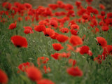 Poppy Field (Papaver Rhoeas), Germany, Europe Premium Photographic Print by Jurgen Freund