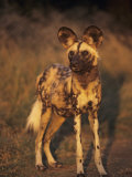 Arican Wild Dog Portrait (Lycaon Pictus) De Wildt, S. Africa Photographic Print by Tony Heald