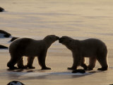 Polar Bears Sniffing / Greeting Each Other, Churchill, Canada Prints by Staffan Widstrand