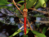 Dragonfly in Ankarana Reserve, Madagascar Photographic Print by Pete Oxford