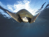 Green Turtle Swimming, Sulu-Sulawesi Seas, Indo Pacific Ocean Photographie par Jurgen Freund