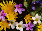 Mixed Spring Flowers Including Meadow Saxafrage and Celandine Photographic Print by Brian Lightfoot