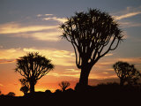 Quiver Tree Silhouetted at Dawn Quiver Tree Forest, Namibia Poster by Tony Heald