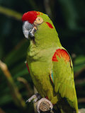 Red Fronted Macaw Portrait Photo by Lynn M. Stone