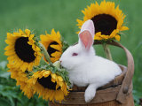New Zealand Rabbit in Basket with Sunflowers, USA Print by Lynn M. Stone