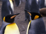 Two King Penguins Face to Face, (Aptenodytes Patagoni) South Georgia Photographic Print by Lynn M. Stone