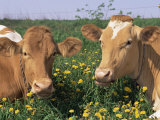 Pair of Guernsey Cows (Bos Taurus) Wisconsin, USA Prints by Lynn M. Stone