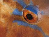 Close up of Parrotfish Eye, Sulu-Sulawesi Seas, Indo Pacific Posters by Jurgen Freund