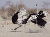 Two Male Ostriches Running During Dispute, Etosha National Park, Namibia Photographic Print by Tony Heald