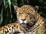Jaguar Portrait, South America Photographic Print by Pete Oxford