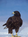 Galapagos Hawk, Espanola/Hood Is, Galapagos Islands, Ecuador Photographic Print by Pete Oxford