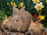 Palamino Rabbits, Mother and Babies, Amongst Daffodils Photographic Print by Lynn M. Stone