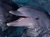 Bottlenose Dolphin (Tursiops Truncatus) Red Sea, Egypt Print by Jeff Rotman