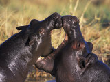 Hippopotamus Play Fighting, Moremi Nr, Botswana Posters by Tony Heald