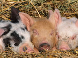 Piglets Sleeping, USA Photographic Print by Lynn M. Stone