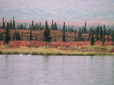 Trumpeter Swans (Cygnus Cygnus Buccinator) on Lake, Denali National Park, Alaska Photographic Print by Tom Mangelsen