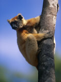 Golden Crowned Sifaka (Propithecus Tattersalli) Madagascar Posters by Pete Oxford