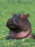 Hippopotamus Surrounded by Water Lettuce, Kruger National Park, South Africa Fotografisk tryk af Tony Heald