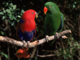 Eclectus Parrots: Male (Right) and Female (Left) Stampa fotografica di Lynn M. Stone