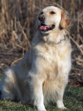 Golden Retriever Breed, USA Photographic Print by Lynn M. Stone