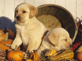 Golden Labrador Retriever Puppies, USA Prints by Lynn M. Stone