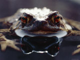 Common European Toad Female Portrait (Bufo Bufo) in Water, England Photographic Print by Chris Packham