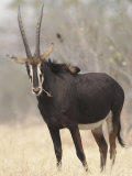 Sable Antelope, Chobe, Botswana Photographic Print by Tony Heald