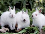 Domestic Rabbits, Netherlands Dwarf Breed, Small and White Variety Prints by Lynn M. Stone