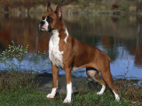 Boxer Dog, Illinois, USA Fotoprint van Lynn M. Stone