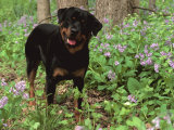 Rottweiler Dog in Woodland, USA Photographic Print by Lynn M. Stone