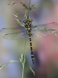 Golden-Ringed Dragonfly (Cordulegaster Boltonii) UK Photo by Kim Taylor