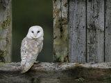 Barn Owl, in Old Farm Building Window, Scotland, UK Cairngorms National Park Photographie par Pete Cairns