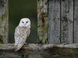 Barn Owl, in Old Farm Building Window, Scotland, UK Cairngorms National Park Stampe di Pete Cairns