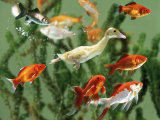 Duckling Swims Underwater Among Goldfish Premium Photographic Print by Jane Burton