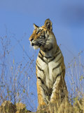 Tiger, Viewed from Below, Bandhavgarh National Park, India Prints by Tony Heald