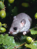 Fat / Edible Dormouse (Glis Glis) Europe Photographic Print by  Reinhard