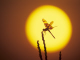 Haloween Pennant Dragonfly, Silhouette at Sunrise, Welder Wildlife Refuge, Sinton, Texas, USA Photographic Print by Rolf Nussbaumer
